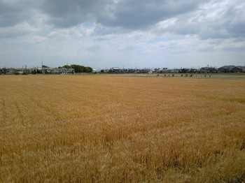 wheat_belt_200905_b01.jpg